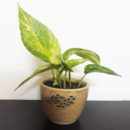 Air Purifying Money Plant With Ceramic Pot, Dark Variety Money Plant, Indoor plants, Air purifying plants